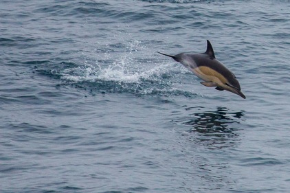ferry-dolphin-dive